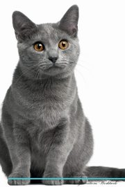 Chartreux Cat Affirmations Workbook Chartreux Cat Presents, Positivity Live