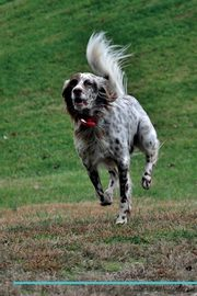 English Setter Affirmations Workbook English Setter Presents, Positivity Live